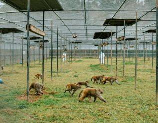 el-futuro-de-las-vacunas-depende-de-algo-que-escasea-los-monos-de-laboratorio