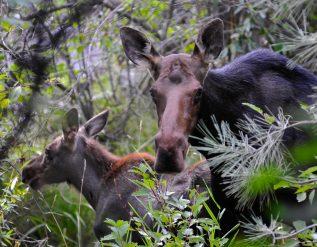moose-in-the-garden-finegardening