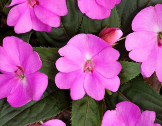 after-several-difficult-years-impatiens-are-back-to-their-former-glory
