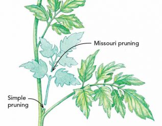 tomato-pruning-made-simple-finegardening