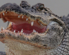 disturbing-discovery-made-items-found-in-stomach-of-monster-gator