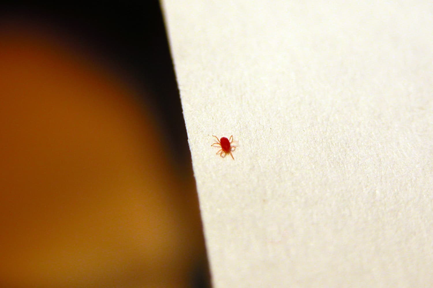 what-are-those-tiny-red-bugs-all-about-clover-mites